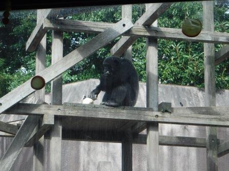 chimp1612_006.JPG