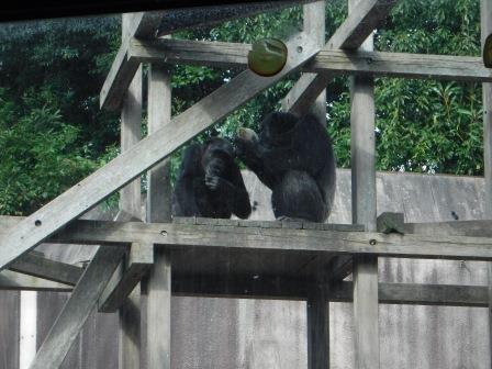 chimp1612_007.JPG