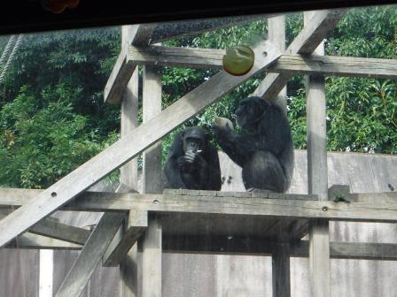 chimp1612_008.JPG