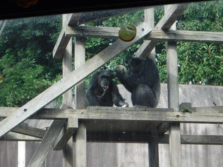chimp1612_009.JPG