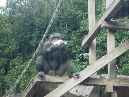 chimp1612_013.JPG