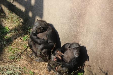 chimp_1612_001.JPG