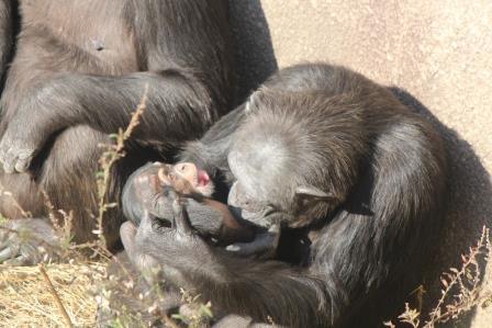 chimp_1612_003.JPG
