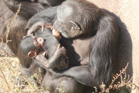 chimp_1612_004.JPG