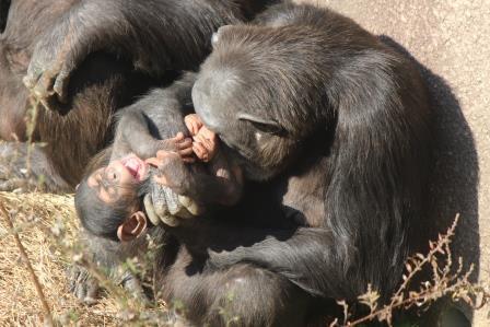 chimp_1612_005.JPG