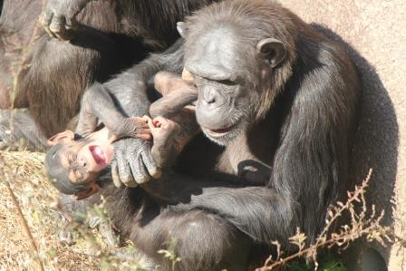 chimp_1612_006.JPG