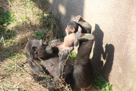 chimp_1612_009.JPG