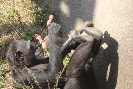 chimp_1612_011.JPG