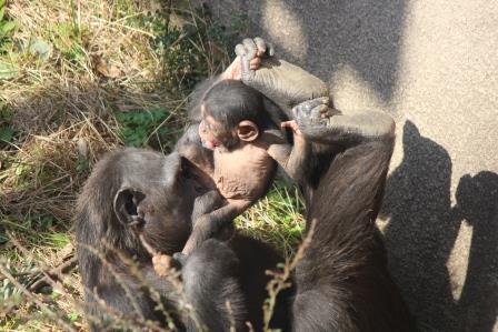 chimp_1612_013.JPG