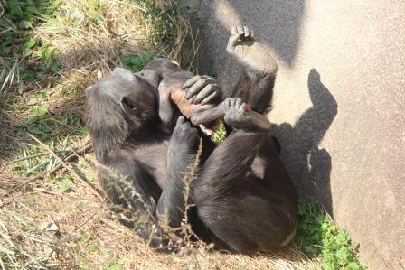 chimp_1612_014.JPG