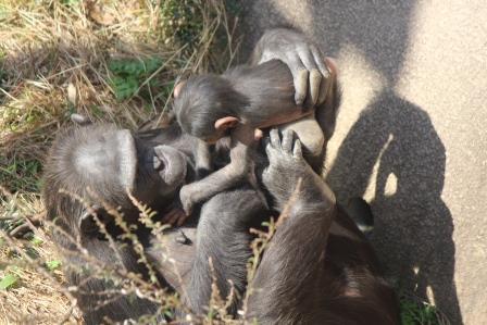 chimp_1612_015.JPG