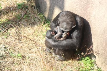 chimp_1612_016.JPG