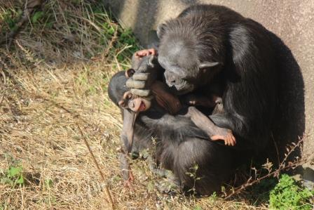 chimp_1612_017.JPG