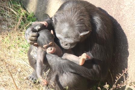 chimp_1612_018.JPG