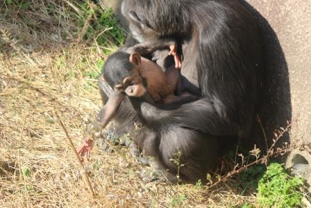 chimp_1612_019.JPG