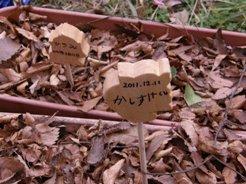 ドングリの苗木を作ろう 111219⑫.JPG