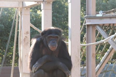 chimp19_1_004.jpg