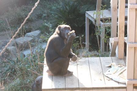 chimp19_1_005.jpg