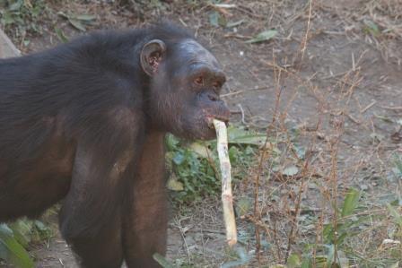 chimp19_1_006.jpg