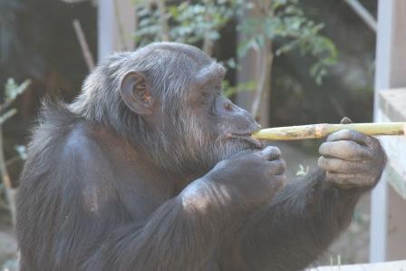 chimp19_1_007.jpg