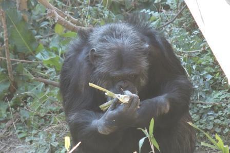 chimp19_1_008.jpg