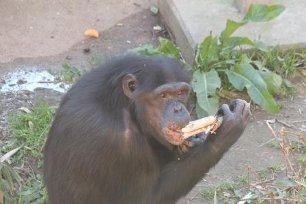 chimp19_1_009.jpg