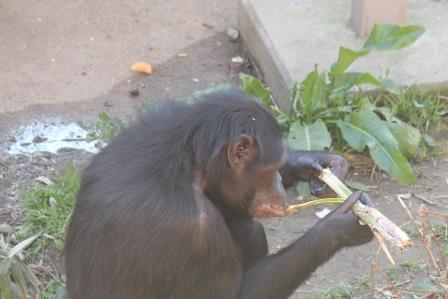 chimp19_1_010.jpg