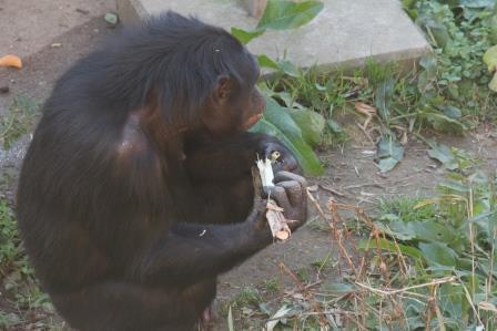 chimp19_1_012.jpg