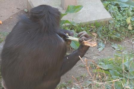 chimp19_1_013.jpg