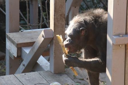 chimp19_1_014.jpg