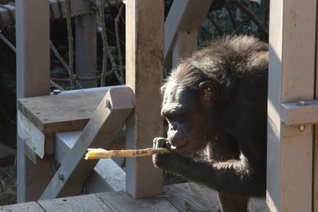 chimp19_1_017.jpg