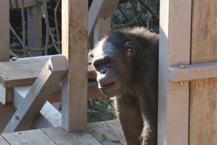 chimp19_1_019.jpg