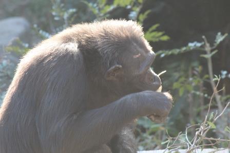 chimp19_1_020.jpg