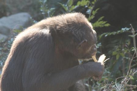 chimp19_1_021.jpg