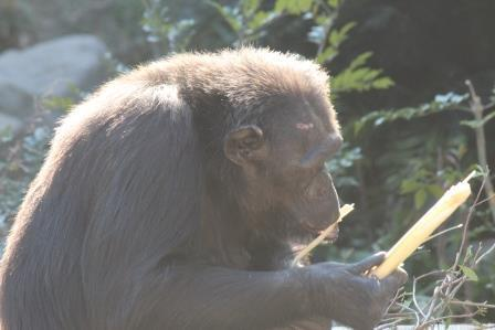 chimp19_1_022.jpg