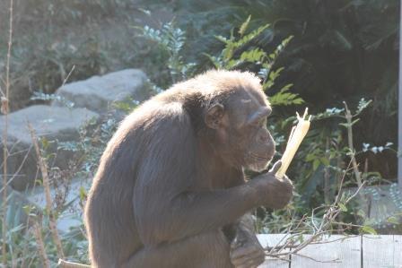 chimp19_1_023.jpg