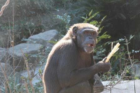 chimp19_1_024.jpg