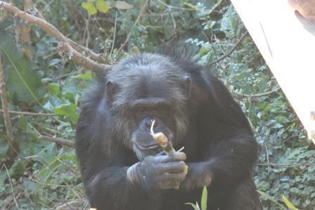 chimp19_1_025.jpg