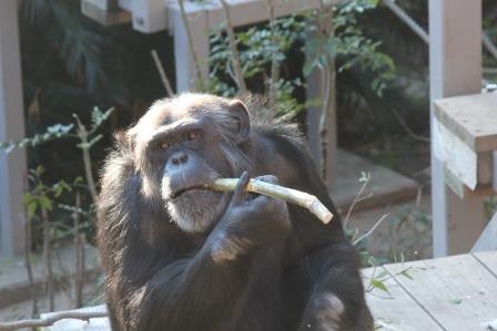 chimp19_1_027.jpg