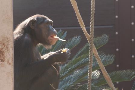 chimp19_1_028.jpg