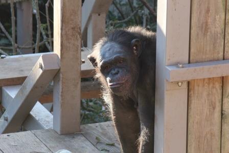 chimp19_1_029.jpg