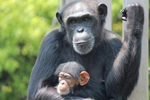 chimp2005_013.jpg