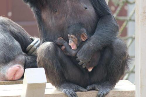 chimp2019_05_003.jpg
