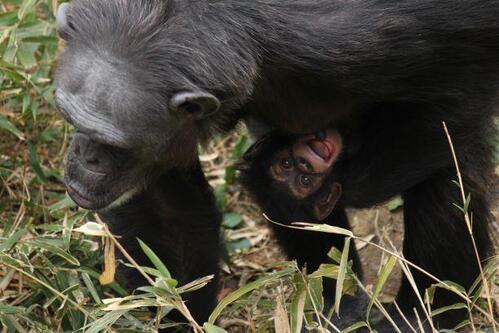 chimp2019_05_004.jpg