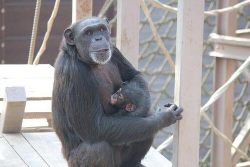 chimp2019_05_005.jpg