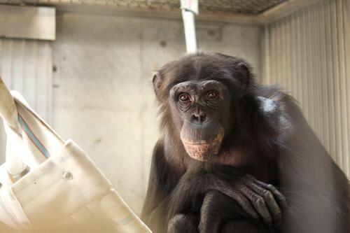 chimp2019_11_001.jpg