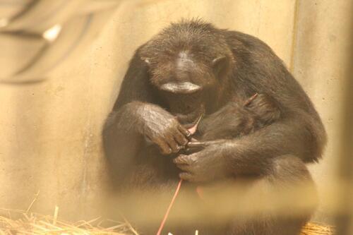 chimp2019_11_004.jpg