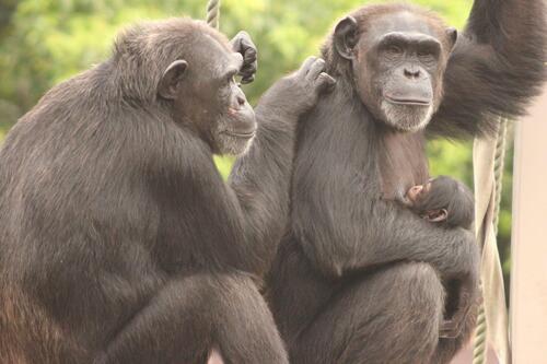 chimp2019_11_005.jpg