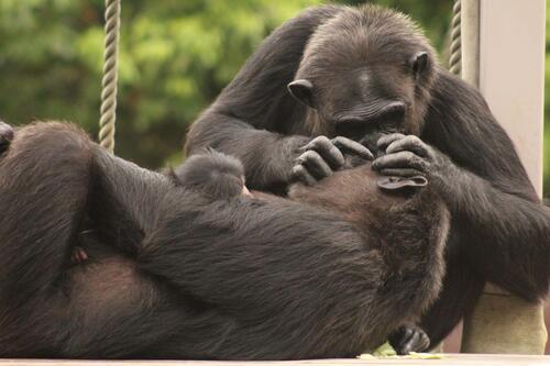 chimp2019_11_007.jpg