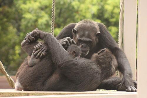 chimp2019_11_009.jpg